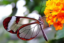 The Glasswing